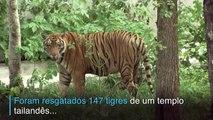 Morrem tigres resgatados