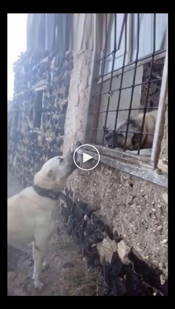 CAMDAN CAMA vs ANADOLU COBAN KOPEKLERi - ANATOLiAN SHEPHERD DOG vs