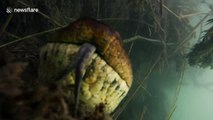 Ce plongeur rencontre un serpent anaconda de 7m de long sous l'eau !