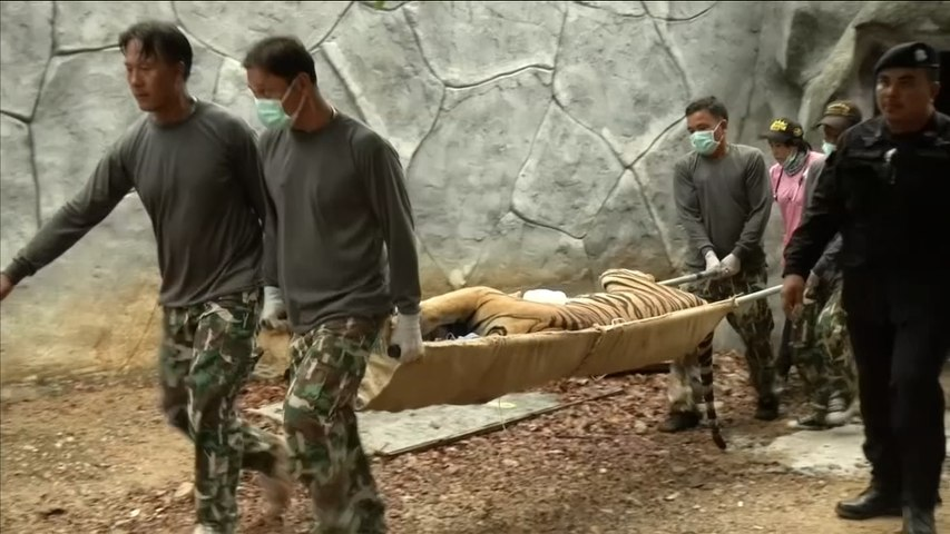 Scores of Thailand's rescued temple tigers die from disease