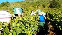 Besançon: les vendanges  aux vignes municipales de Port Douvot à Velotte