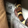 Red-Tailed Boa Snake Gives Birth to 27 Baby Snakes