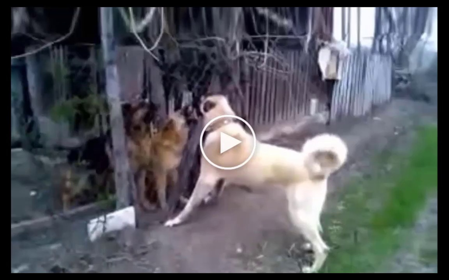SiMiT KUYRUK COBAN KOPEGi vs ALMAN KURDU - ANATOLiAN SHEPHERD DOG vs GERMAN SHEPHERD DOG