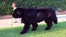 Cet enfant promène son chien... qui fait 4 fois sa taille!