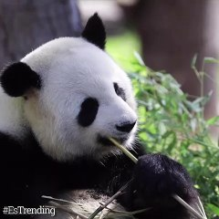 Gemelos de panda la nueva sensación en el zoológico de Berlín