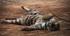 En Thaïlande, 86 des 147 tigres sauvés du Temple qui les maltraitait sont décédés