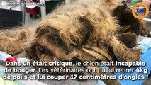 Ce petit chien avait 4kg de poils  et 17 centimètres d'ongles !