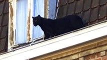 Une panthère noire se balade sur le toit d'un immeuble d'Armentières