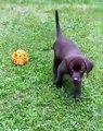 Ce chien s'amuse avec une balle, mais il fait vite d'abandonner