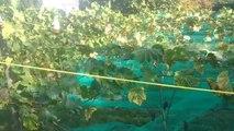 On produit du vin à Tournai... Petite visite des vignobles au début des vendanges