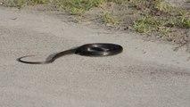 Ce serpent fait une attaque en pleine route