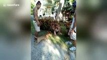 Une petit chien vient embêter... un tigre.