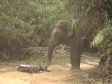 Un éléphant très en colère contre un scooter sème la panique sur un chemin