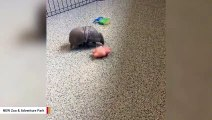 Armadillo Plays With Toy And It's Awkwardly Adorable