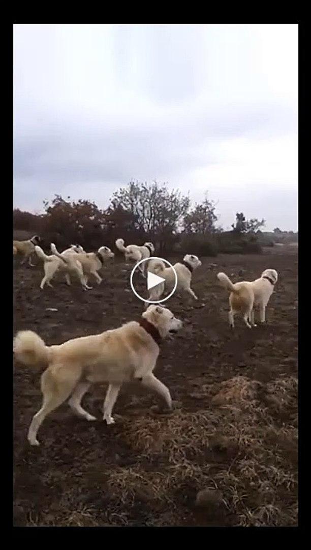 AKBAS COBAN KOPEKLERi KOYUN SURUSU - ANATOLiAN SHEPHERD AKBASH DOGS