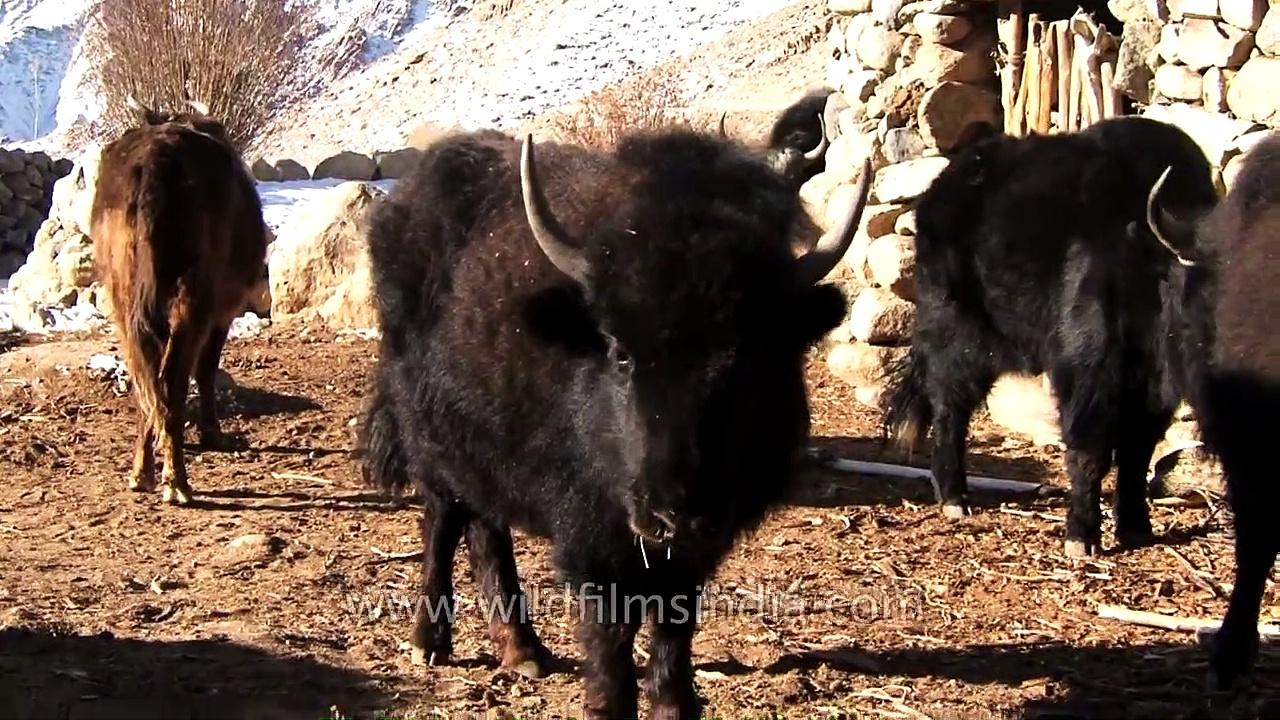 Ladakhis feed and milk Yaks in trans Himalaya