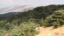 شجرة الأرز اللبنانية تواجه تحديات بيئية