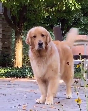 Dogs tail wagging Videos 2019   Dog Wags tail while lying down   Animal Viral Videos