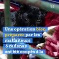 La panthère d'Armentières a été volée au zoo de Maubeuge