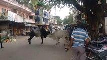 Pelea de toros en plena calle - Bullfight in the street