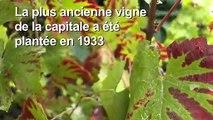 Les vignes de Montmartre vendangées à Paris