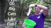 We all know cats like fish, but do big cats like fish? Watch and see!