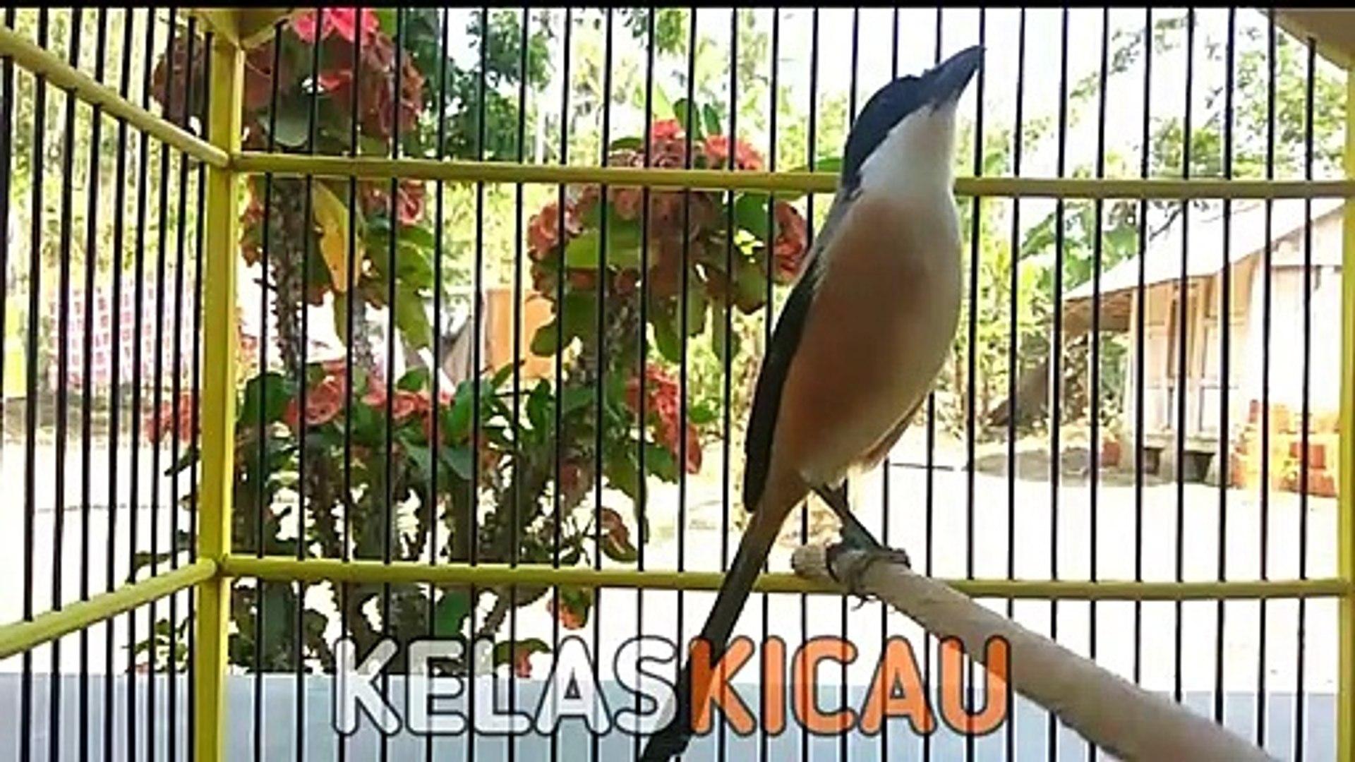Suara Burung Cendet Gacor Full Isian Bikin Pengen Kelas Cendet Video Dailymotion