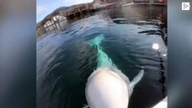 A beluga steals a GoPro from a kayaker and the retrieves it from the bottom of the sea