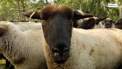 ¡Quién ha dejado salir a las ovejas por el centro de Berlín!