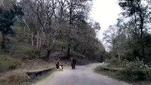 Un éléphant en colère charge une cycliste... terrifiant