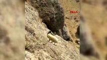 Van kurtlardan kaçarak kayalıklarda mahsur kalan koyunu, itfaiye ekipleri kurtardı