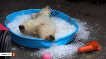 Here's What Happens When Polar Bear Finds A Pool Filled With Ice