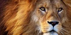 Vídeo viral: Mujer con poco aprecio por su vida  entra al foso de un león en un zoo de Nueva York para 'torearlo'