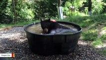 Rescued Black Bear Takes Relaxing Bath