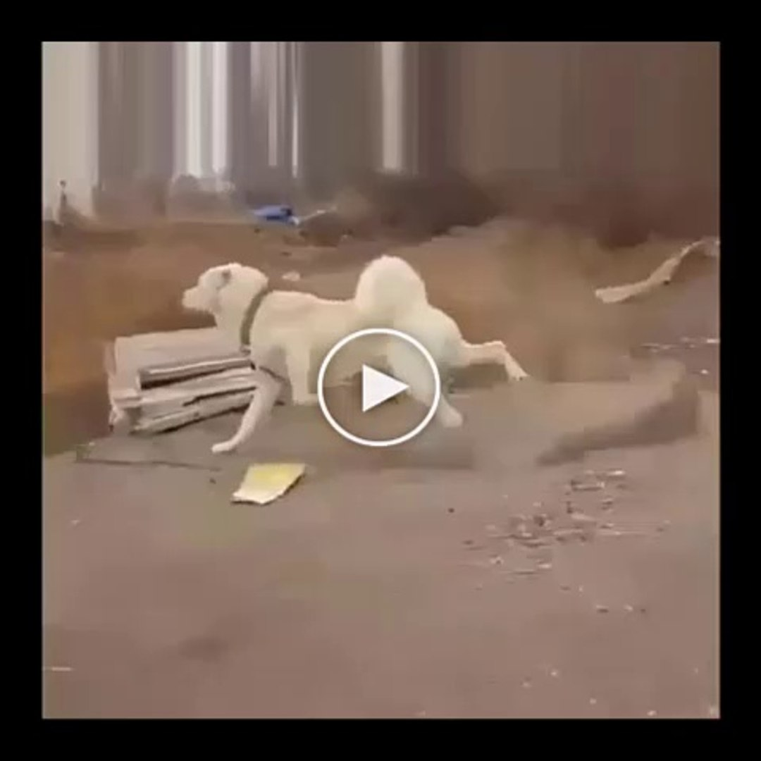 ADAMCI AKBAS COBAN KOPEGi - ANGRY AKBASH SHEPHERD DOG