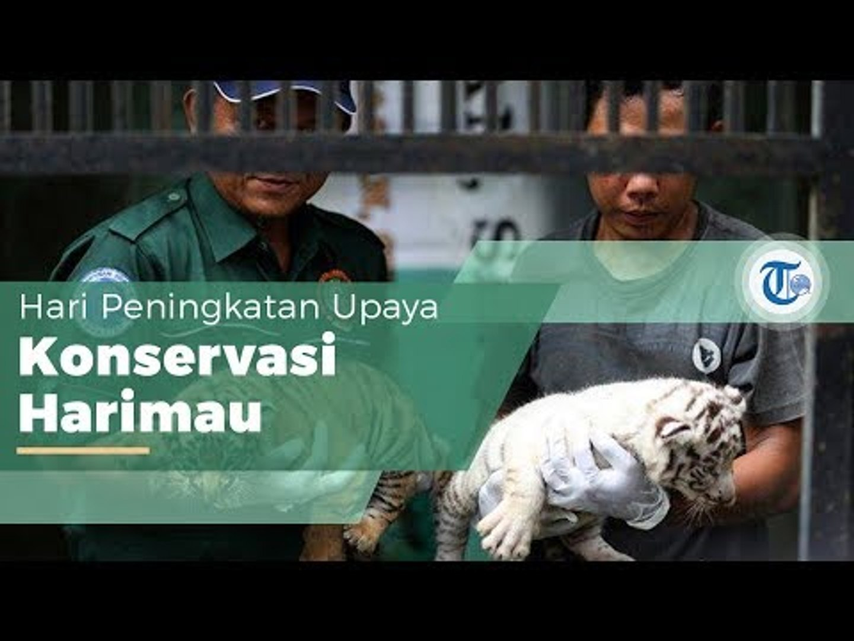 Hari Harimau Sedunia atau International Tiger Day, Hari Pengingat Upaya Penyelamatan Harimau