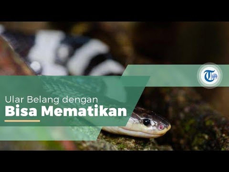 Ular Weling, Ular Berbisa dari Suku Elapidae yang Bisa Ditemukan di Asia Tenggara