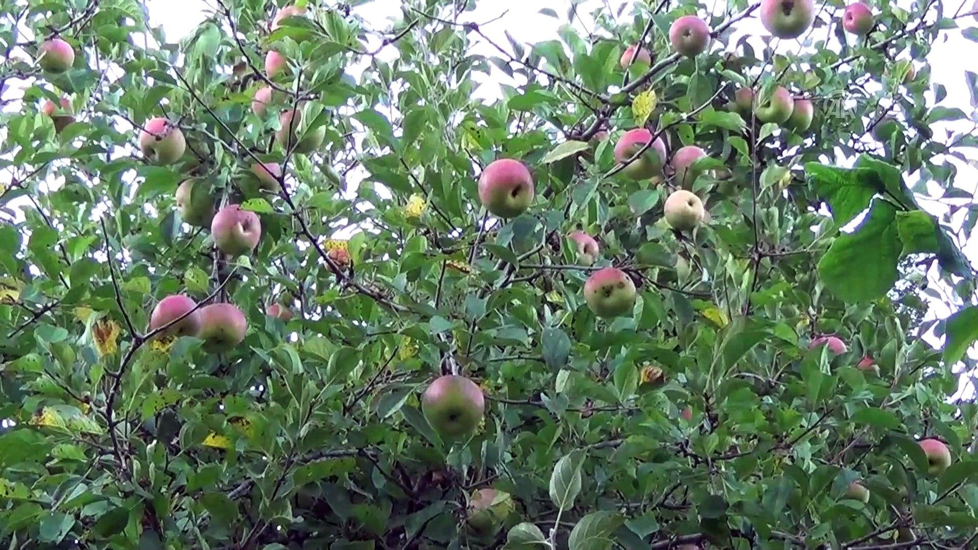 Yeni keşfedilen elma 'Ertuğrul Gazi' ismiyle tescil edilecek - ZONGULDAK