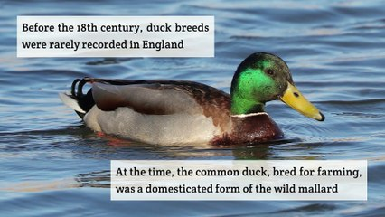 A brief history of the Aylesbury Ducks
