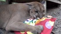Cougar Makes A BIG Mess!
