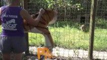 Tiger VS Tiger