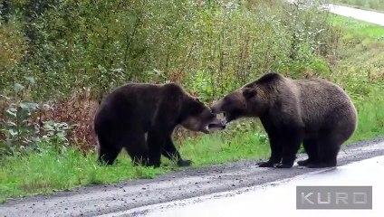 Un duel impression entre deux grizzlis - Canada