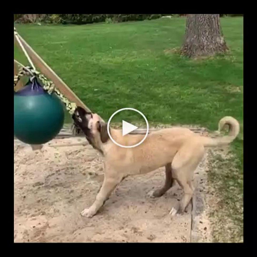 MALAKLI COBAN KOPEGi SABAH SPORU - ANATOLiAN SHEPHERD DOG MALAKLI MORNiNG EXERCiSE