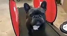 Ce bulldog est un curieux adepte de la gym. Regardez ce qu'il fait !