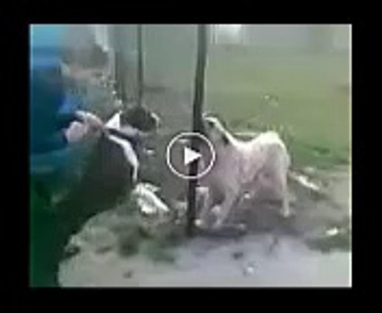 PiTBULL TERRiER vs ANADOLU COBAN KOPEGi - ANATOLiAN SHEPHERD DOG vs PiTBULL TERRiER