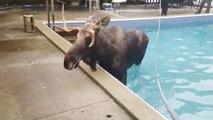 Sauvetage d'un élan coincé dans une piscine