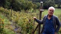Des vignes à Monistrol-sur-Loire