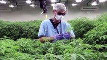 Uruguay's cannabis growers go global