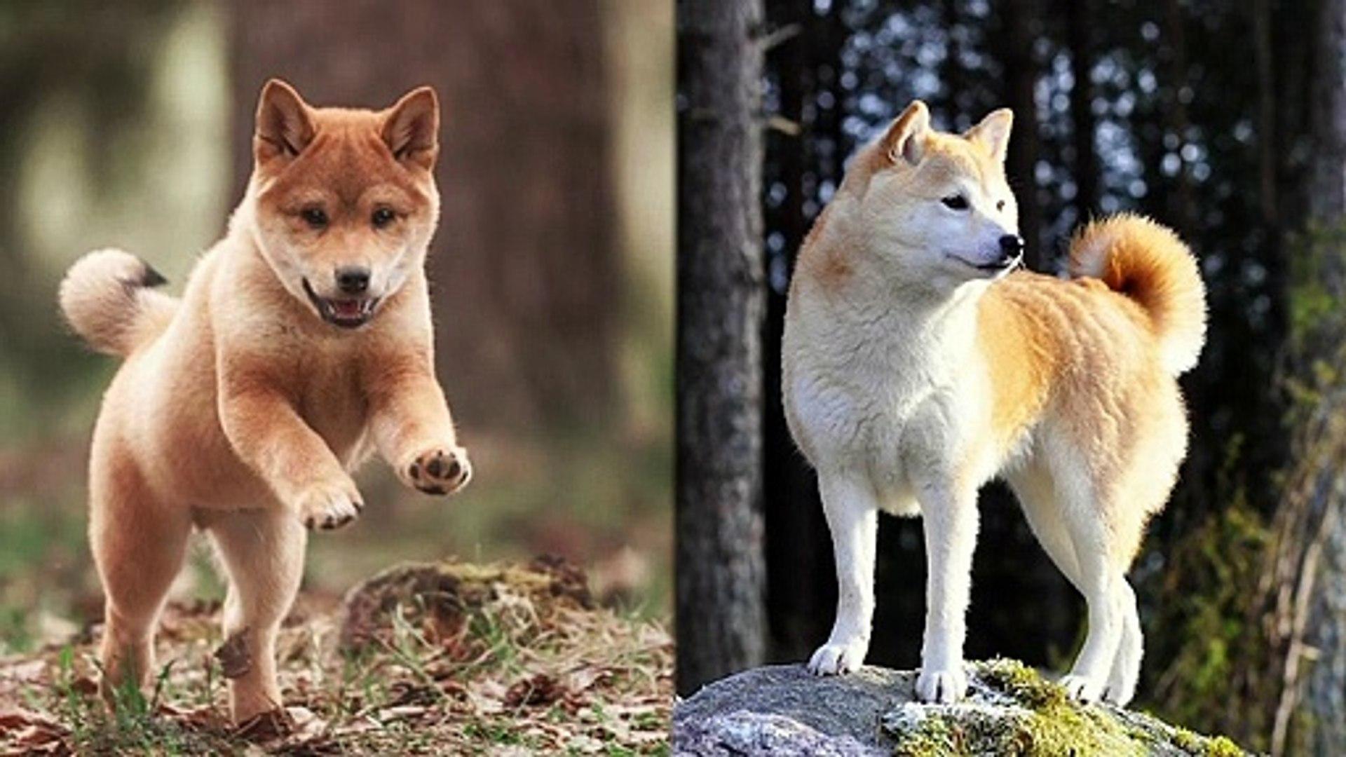 Shiba vs Akita - Dogs 101 | Funny Pet Videos