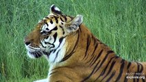 Beautiful Kali Tiger loves a good vacation! #Beauty #Tigers #Vacation #WebCams #Explore #BigCatRes
